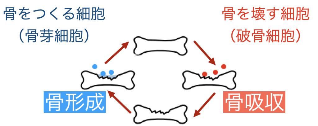 骨粗鬆症治療 骨形成 骨吸収